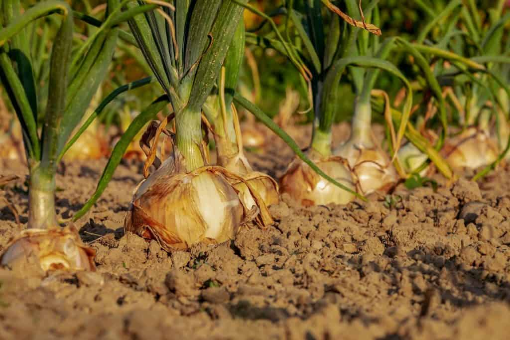 An image of onions in a bed of soil/