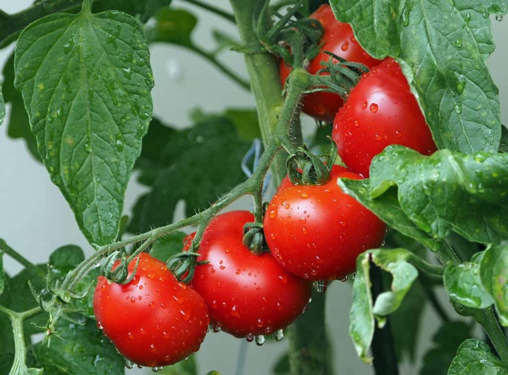 An image of tomatoes growing on the vine.