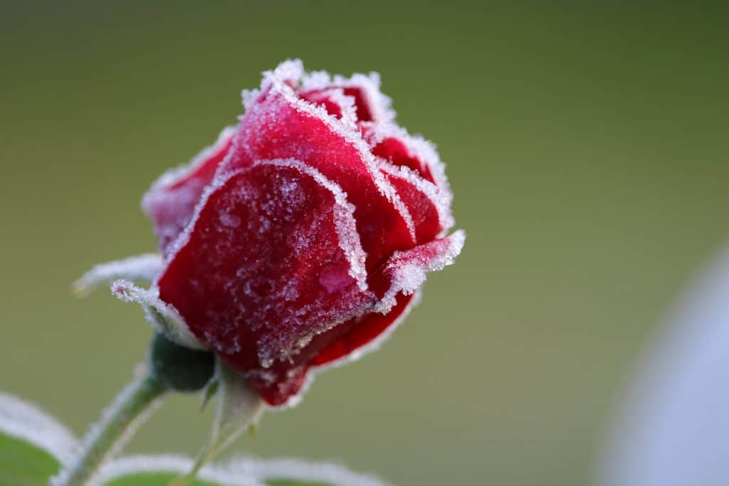An image of a frost covered flower.